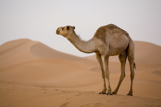 Stop Drinking Camel Urine, World Health Organization Says ...