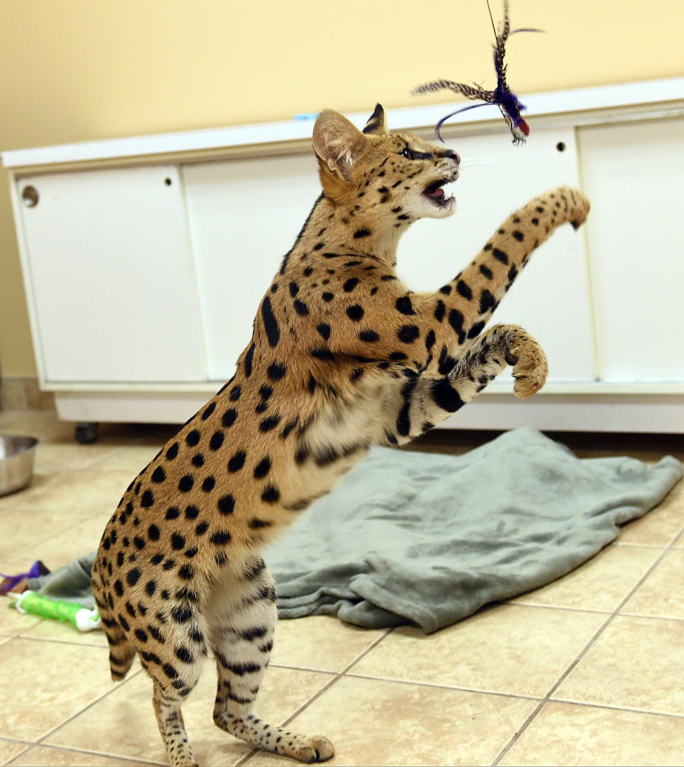 Domestic african serval