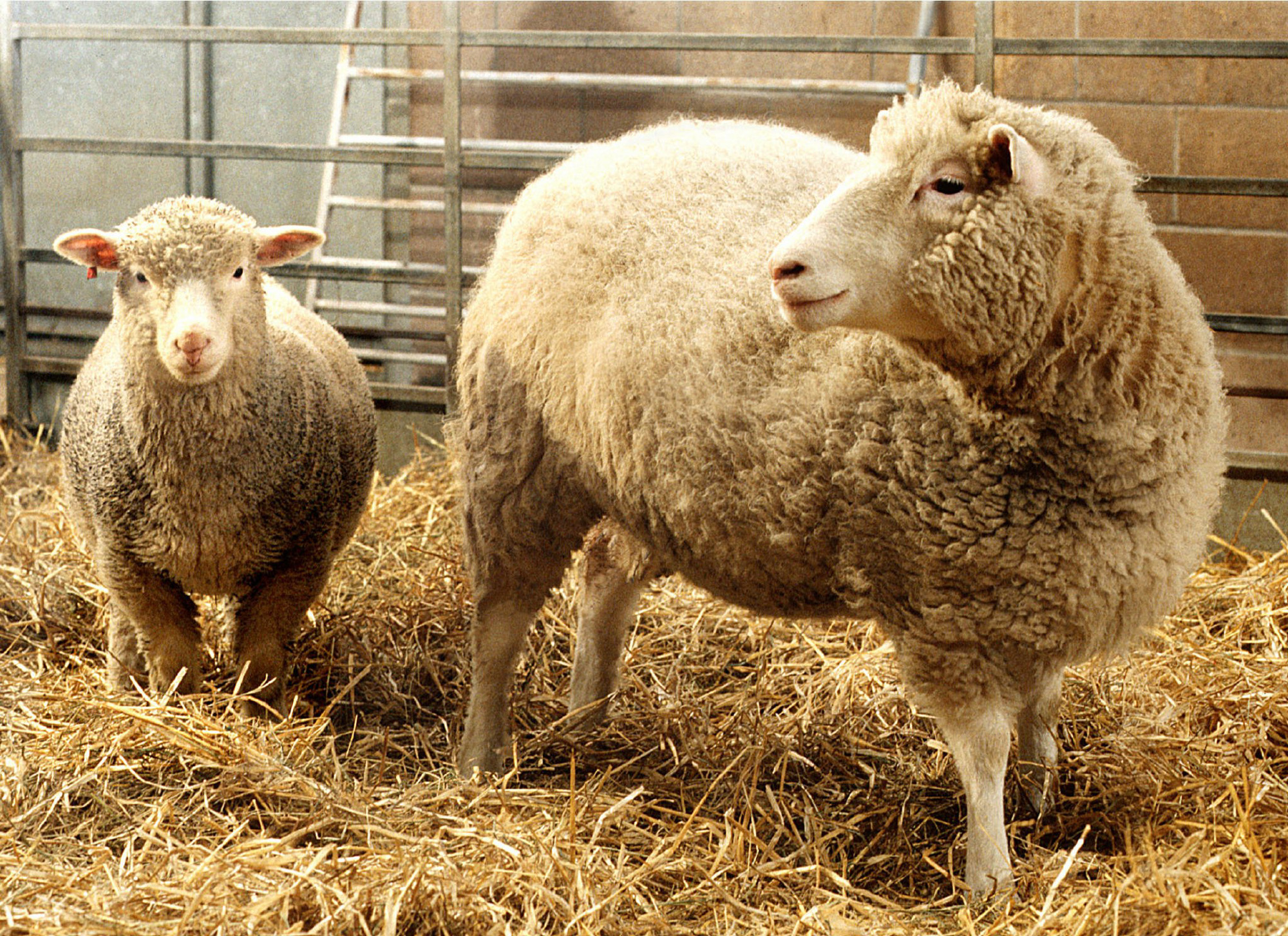 first successful adult clone reported by scientists A report of the witherspoon council on ethics and the integrity of science   learned in 1997 of dolly the sheep, the first clone produced from an adult  mammal,  for the first time successfully obtained stem cells from cloned human  embryos.