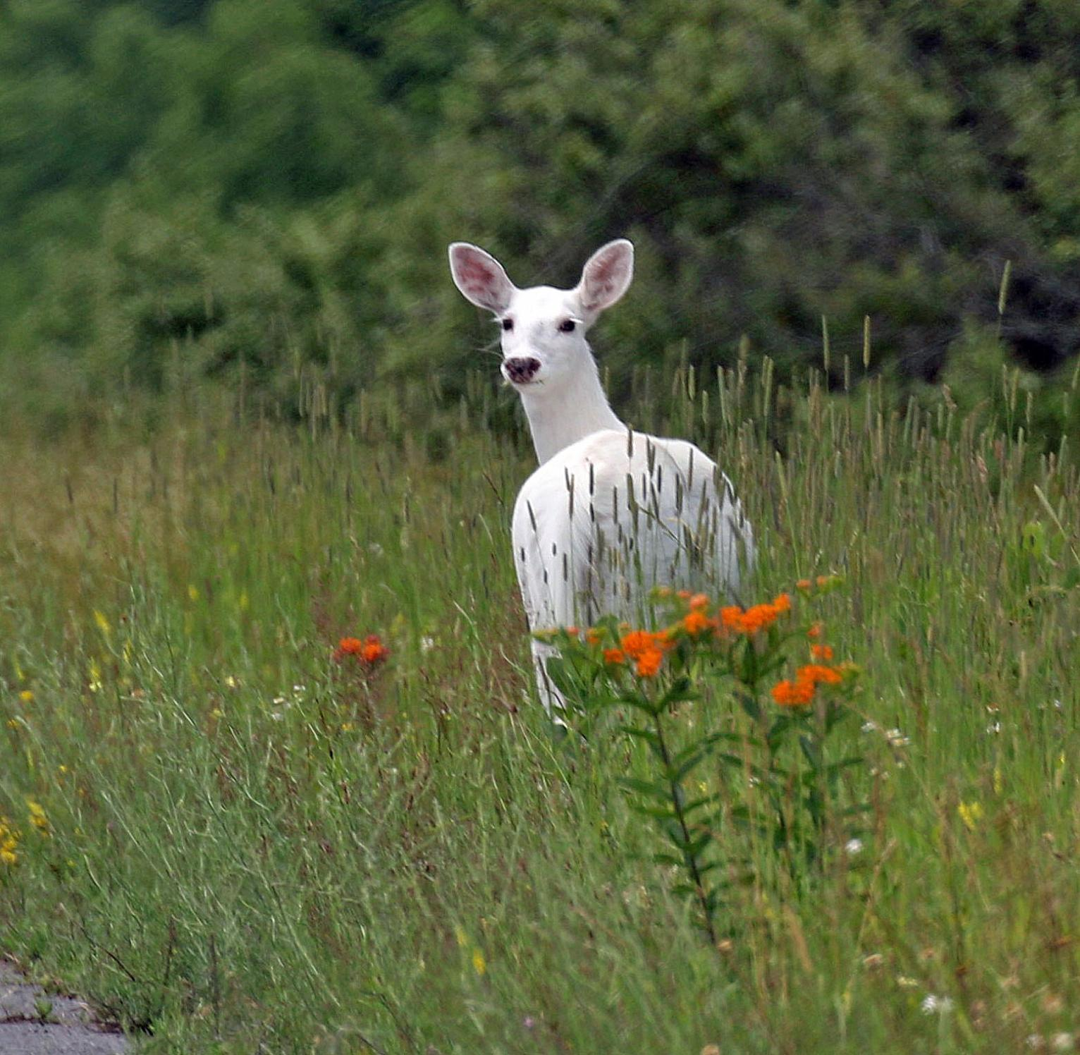 Rare White Deer Herd Open To Public View Beginning This