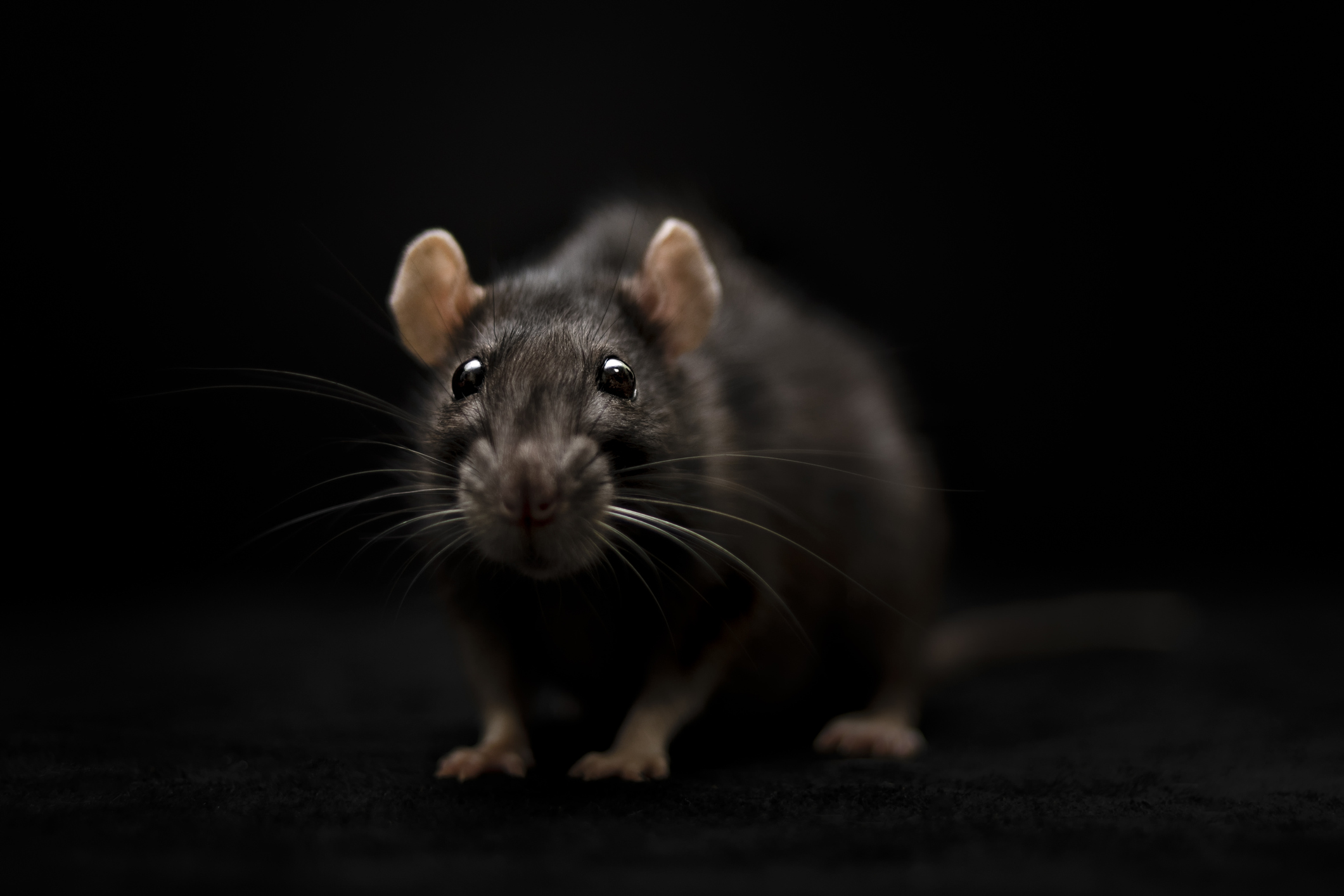 Rodent Control Service Houston Tx