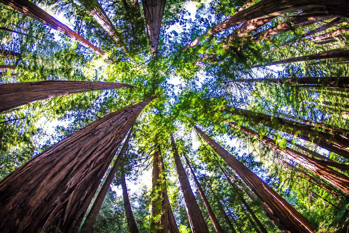 Looking up at the redwood trees at Muir Woods in San Francisco.